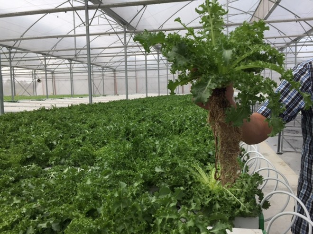 Tận mắt xem kỹ thuật trồng rau không cần đất ảnh 6