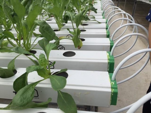 Tận mắt xem kỹ thuật trồng rau không cần đất ảnh 8