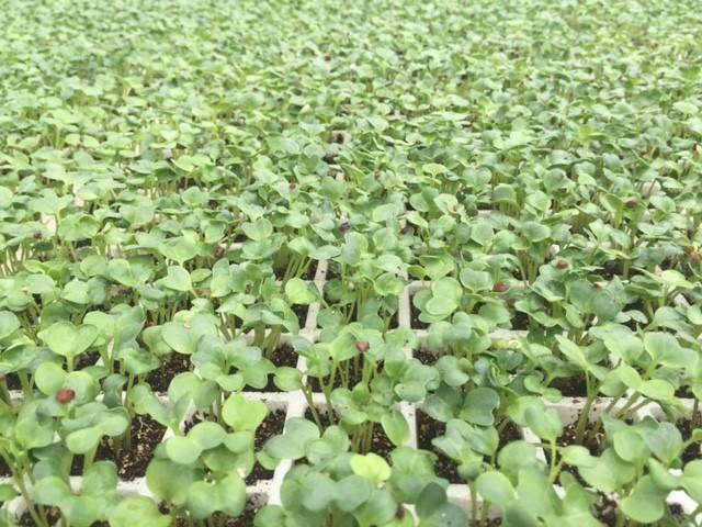 Tận mắt xem kỹ thuật trồng rau không cần đất ảnh 5