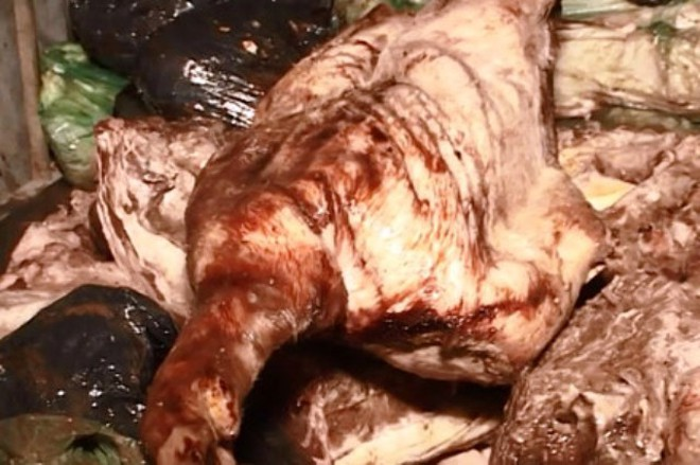 Hình ảnh ghi lại cảnh mua bán lợn chết tại xã Phú Bình, Thạch Thất (