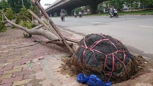 Sở Xây dựng Hà Nội vừa công bố tên các công ty, đơn vị trồng cây xanh bị bật gốc trong cơn bão số 1 vừa qua lộ ra còn nguyên bầu nhựa, nilon