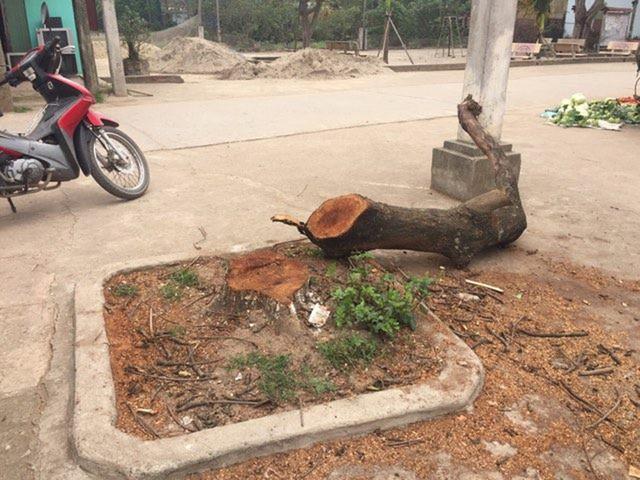 Hàng chục cây xanh ở tuyến đường liên thôn xã Cẩm Yên đã bị chính quyền xã chặt hạ