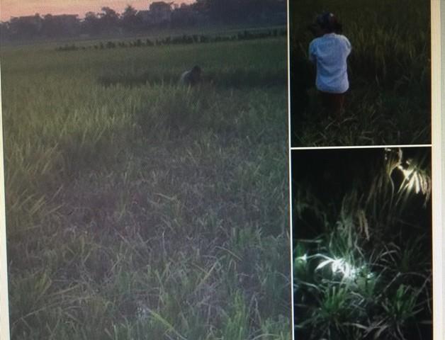 Ở vùng nông thôn, nông dân phải tranh thủ ra đồng gặt lúa đêm dưới ánh đèn