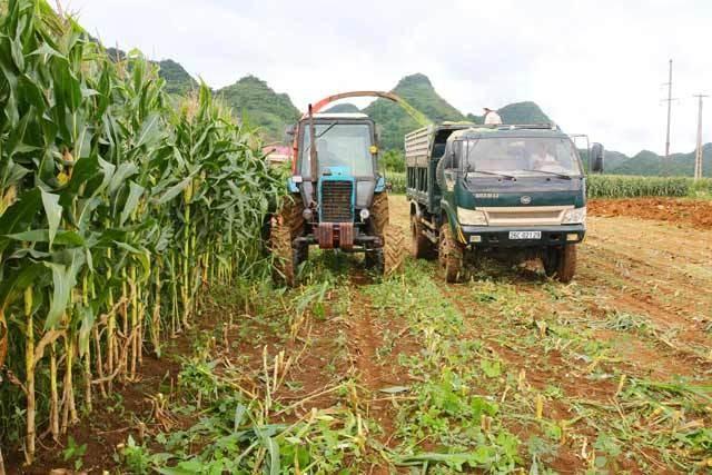 Thu hoạch ngô ở Sơn La