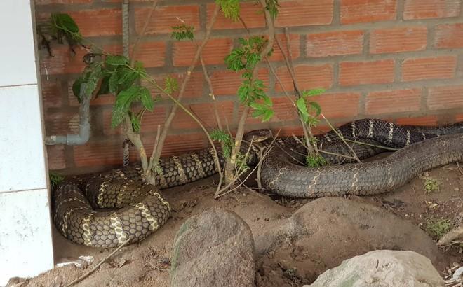 """Cặp rắn """"khủng"""" được các công nhân bắt được ở chân núi Cấm, An Giang vừa qua"""
