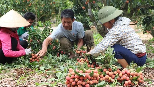 Quả vải thiều tươi của Việt Nam chính thức được xuất khẩu đi Nhật