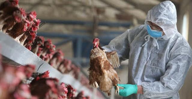 Tỉnh Thanh Hóa đã tiêu hủy 60.000 con gia cầm vì cúm