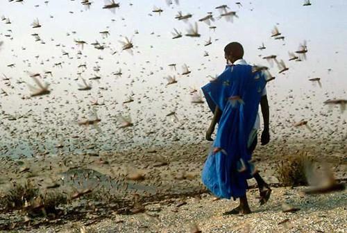 Nạn châu chấu sa mạc đang khiến nhiều nước Đông Phi lao đao
