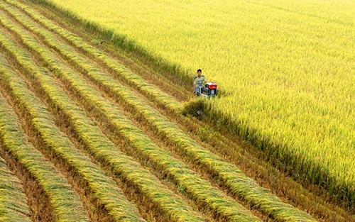 Sản lượng gạo trên toàn cầu được dự báo giảm khoảng 3 triệu tấn