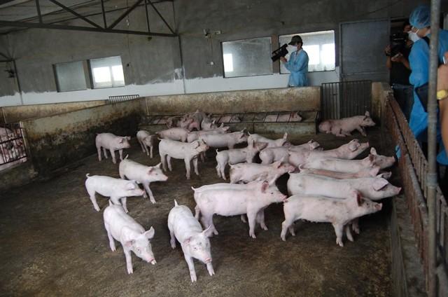 Việt Nam sẽ nhập khẩu cả thịt lợn sống và lợn giống để giảm áp lực giá cả trong nước