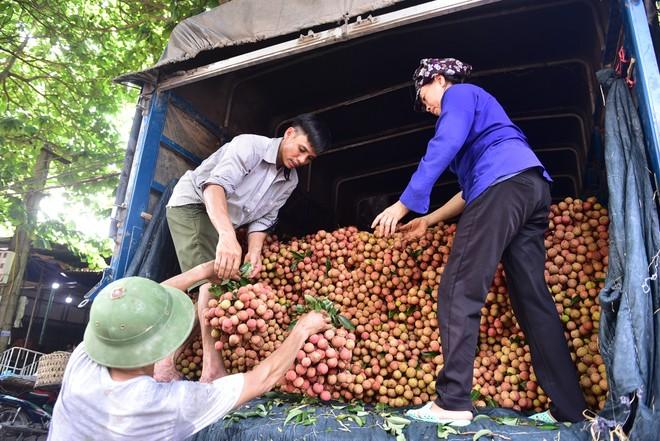 Vải thiều ở Bắc Giang hiện đã bắt đầu vào vụ