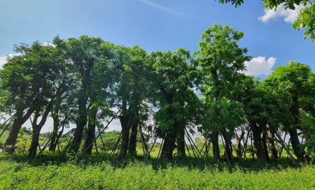 80% cây xanh đánh chuyển từ Kim Mã về vườn ươm phát triển ổn định