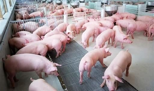 Giá thịt lợn hơi trong nước hiện vẫn ở mức cao