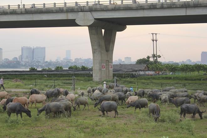 Hiện có tình trạng nuôi, chăn thả đàn trâu với số lượng lớn ở khu vực bãi sông Hồng, gầm cầu Vĩnh Tuy