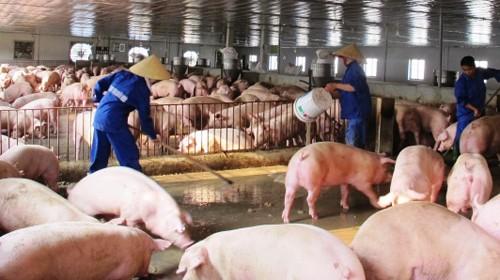 Việt Nam có nhiều cơ hội xuất khẩu thịt lợn vào các thị trường như Trung Quốc, Nhật Bản, Hàn Quốc