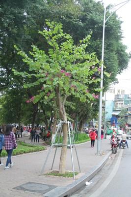 Hà Nội: Mùa hoa ban nở sớm ảnh 3