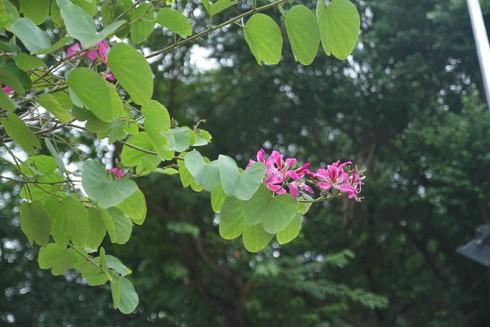 Hà Nội: Mùa hoa ban nở sớm ảnh 7