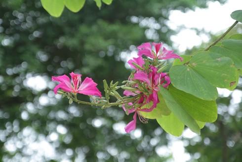 Hà Nội: Mùa hoa ban nở sớm ảnh 6