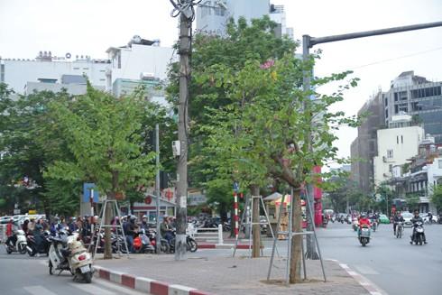 Hà Nội: Mùa hoa ban nở sớm