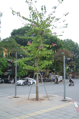 Hà Nội: Mùa hoa ban nở sớm ảnh 5