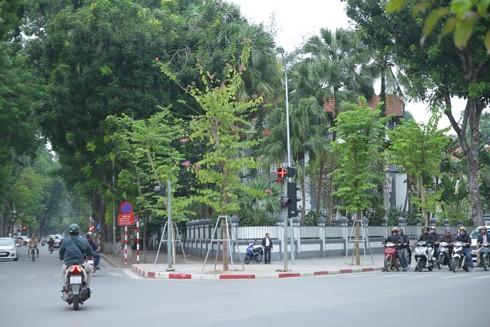 Hà Nội: Mùa hoa ban nở sớm ảnh 4