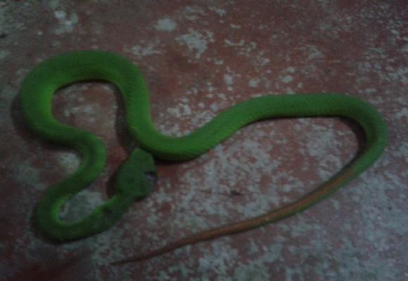Một con rắn lục đuôi đỏ chui vào nhà dân và bị đập chết
