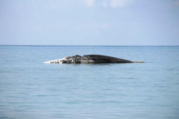 """Con cá voi """"khủng"""" chết, trôi trên biển"""