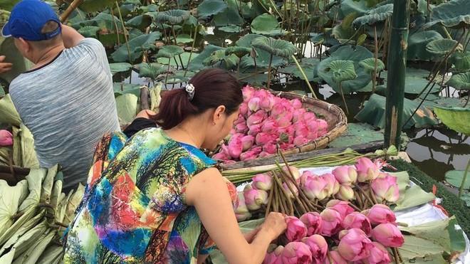 Hoa sen trong tâm hồn người Hà Nội ảnh 2