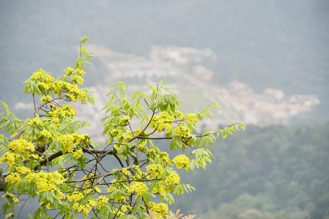 Đại lão mai bung nở, nhuộm vàng cả dãy núi Yên Tử ảnh 6