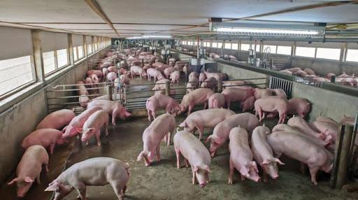 Bộ Công Thương khuyến cáo doanh nghiệp xuất khẩu lợn sang Campuchia ảnh 1