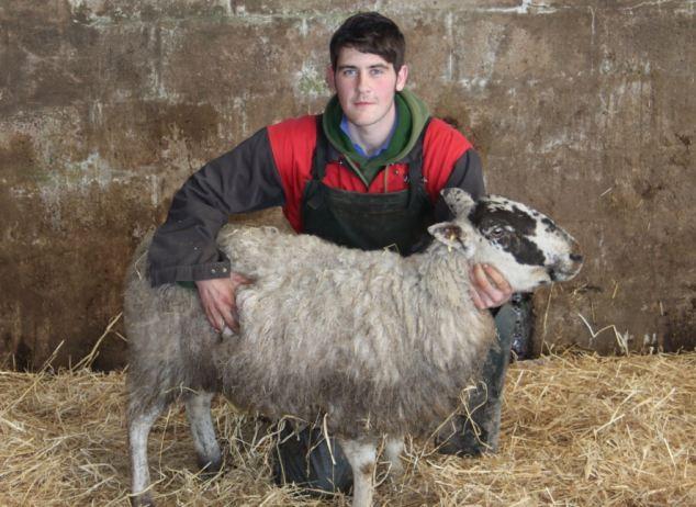 Cừu mang thai sống sót sau...11 ngày chôn vùi dưới tuyết ảnh 2