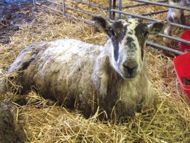 Cừu mang thai sống sót sau...11 ngày chôn vùi dưới tuyết ảnh 3