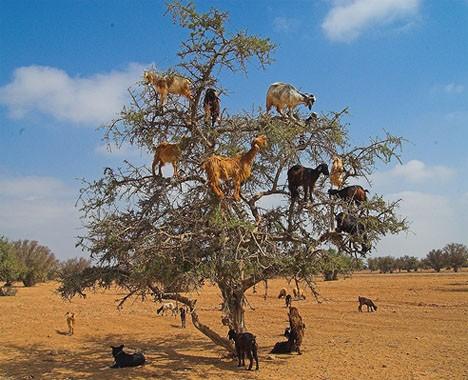 Lạ mắt cảnh cả bầy dê vắt vẻo trên ngọn cây ảnh 1