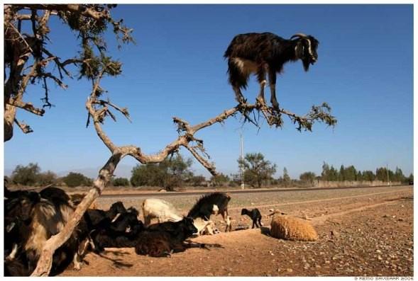 Lạ mắt cảnh cả bầy dê vắt vẻo trên ngọn cây ảnh 2