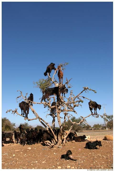 Lạ mắt cảnh cả bầy dê vắt vẻo trên ngọn cây ảnh 5