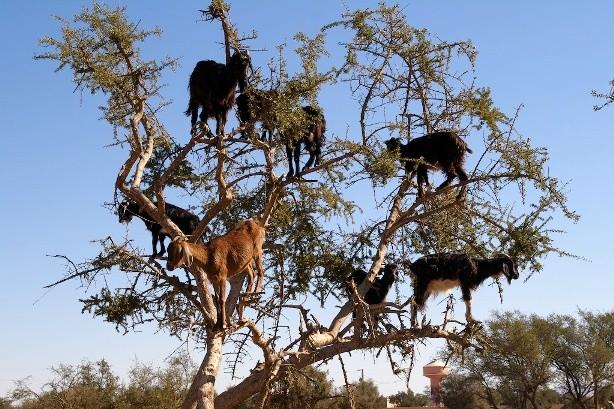 Lạ mắt cảnh cả bầy dê vắt vẻo trên ngọn cây ảnh 3