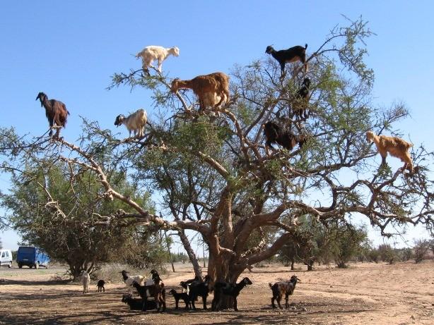 Lạ mắt cảnh cả bầy dê vắt vẻo trên ngọn cây ảnh 4