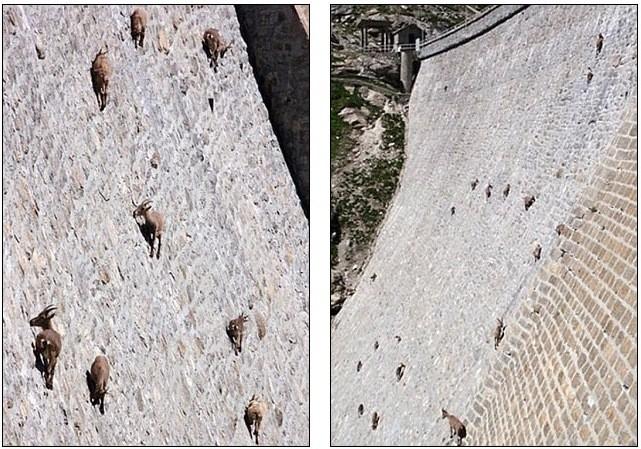 Lạ mắt cảnh cả bầy dê vắt vẻo trên ngọn cây ảnh 8