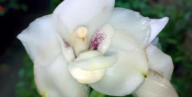 6 loài hoa giống động vật một cách kì lạ ảnh 14
