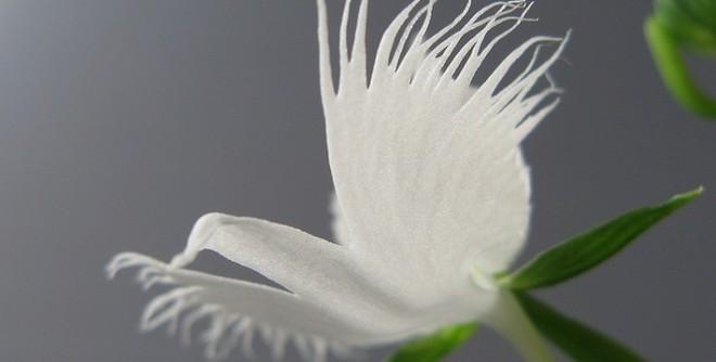 6 loài hoa giống động vật một cách kì lạ ảnh 11