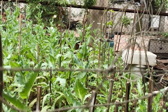 Hà Nội: Xử lý nghiêm vụ trồng gần 400 cây anh túc để… ngâm rượu ảnh 1
