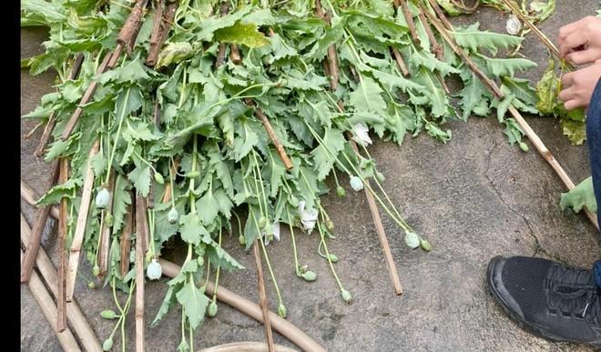 Hà Nội: Xử lý nghiêm vụ trồng gần 400 cây anh túc để… ngâm rượu ảnh 3