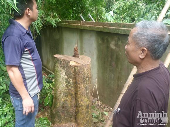 Đêm mưa, cây sưa 70 năm tuổi bị đốn hạ giữa vườn chùa ảnh 2