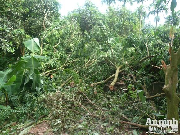Đêm mưa, cây sưa 70 năm tuổi bị đốn hạ giữa vườn chùa ảnh 5