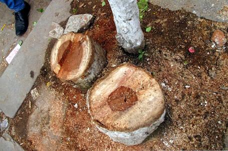 Giả tình nhân ôm nhau dưới gốc cây để...cưa trộm sưa ảnh 1