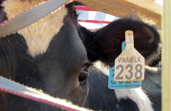 """200 con bò sữa """"cưỡi"""" phi cơ, đáp xuống phi trường Tân Sơn Nhất ảnh 4"""
