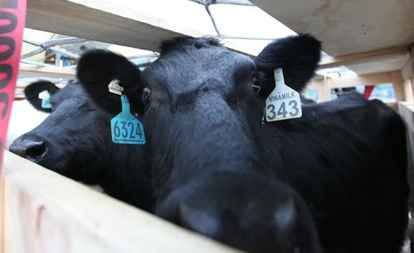 Vinamilk tiếp tục nhập bò sữa cao sản từ Úc về Việt Nam ảnh 4