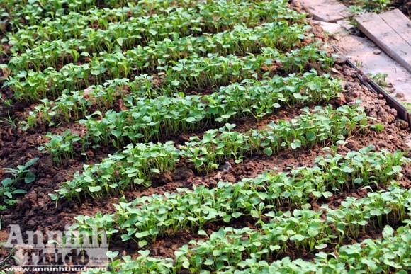Những vuông rau xanh của ngõ nhỏ, phố nhỏ Hà Nội ảnh 10