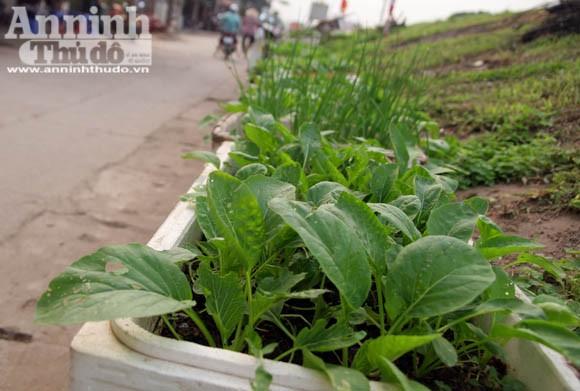 Những vuông rau xanh của ngõ nhỏ, phố nhỏ Hà Nội ảnh 7