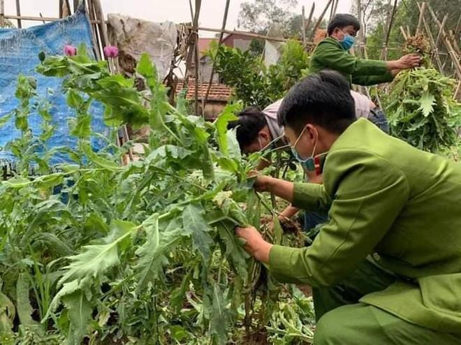 Phát hiện khoảng 3.000 cây cần sa trong vườn nhà người dân ảnh 1
